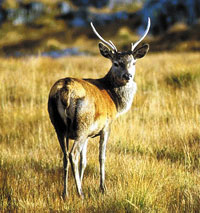 wildlife scotland red deer